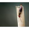 Earwig (Forfica auricularia) 01