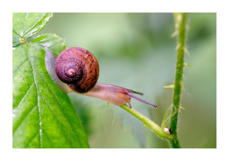 Copse Snail  (Arianta arbustorum)