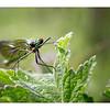 Banded Demoiselle (Female) Calopteryx splendens