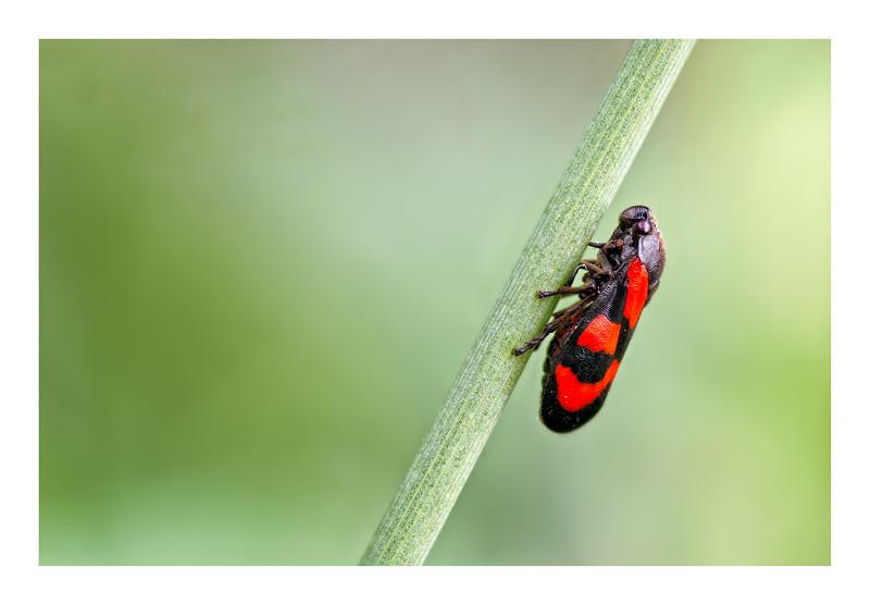 Froghopper (Cercopsis vulnerata)