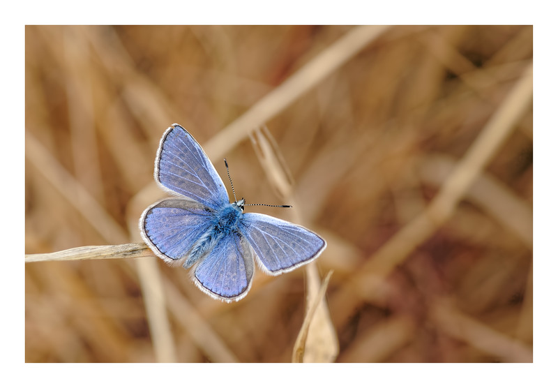 Common Blue (Polyommatus icarus) 01