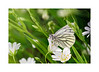 Green-veined White_Pieris napi 01