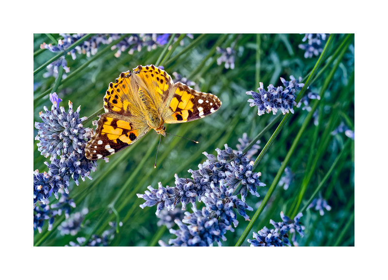 Painted Lady (Vanessa (Cynthia) cardui) on Lavender 05