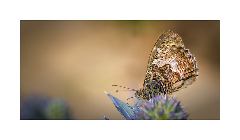 Grayling (Hipparchia semele)