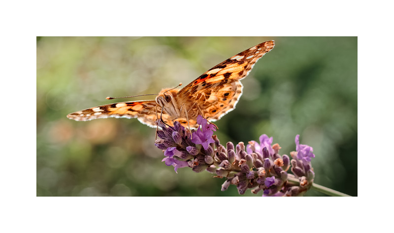Painted Lady (Vanessa (Cynthia) cardui) on Lavender 03
