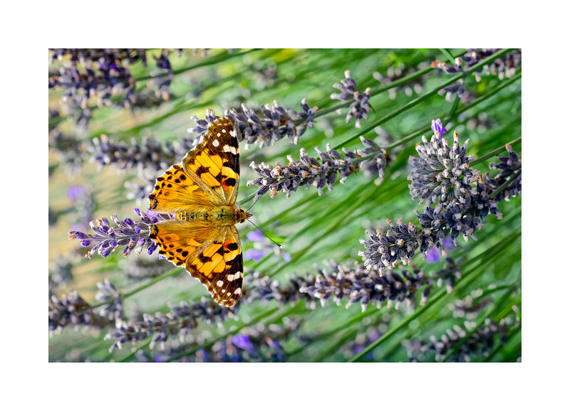 Painted Lady (Vanessa (Cynthia) cardui) on Lavender 04