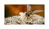 Migrant Hoverfly (Eupeodes corollae) Feeding