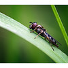 Hoverfly on Grass Blade