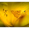 Canary-Shouldered Thorn 02a_WB