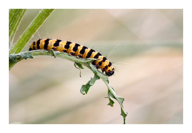 Cinnabar Larva (Tyria jacobaeae)