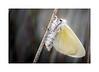 White Satin Moth (Leucoma salicis) Freshly Emerged