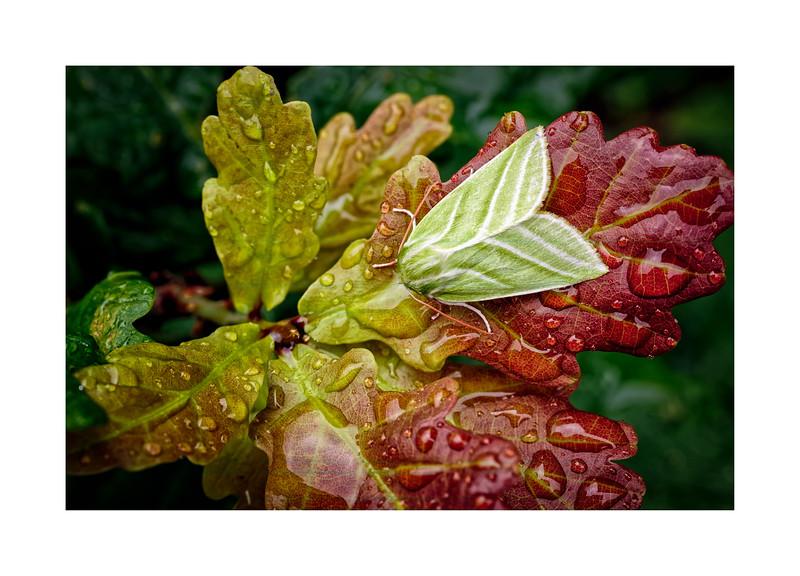 Green-silver lines (Pseudoips prasinana ssp. britannica) on Youn
