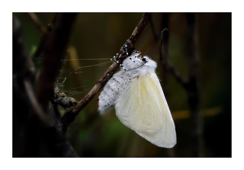 Freshly Emerged Female White Satin Moth