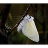 Freshly Emerged Female White Satin Moth