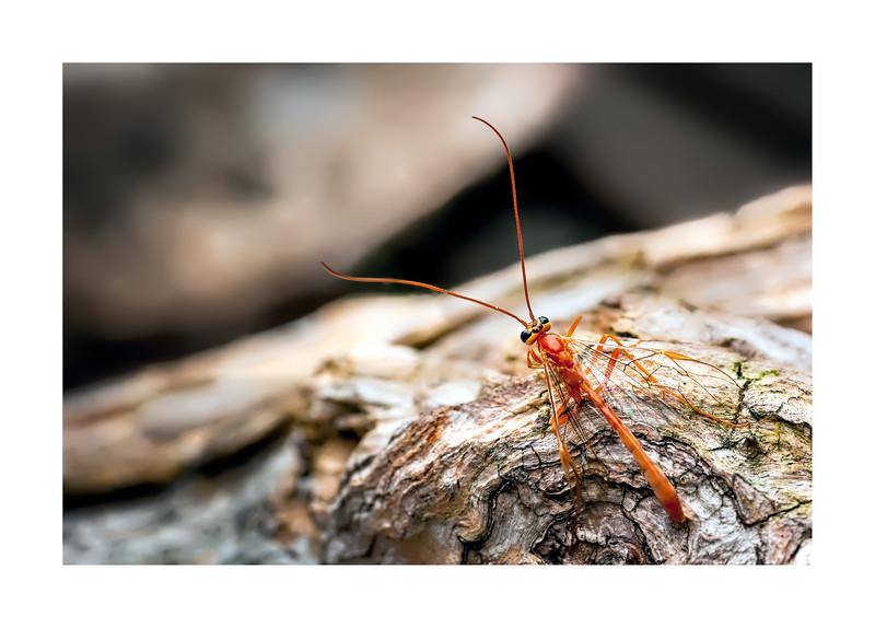 Ichneumon Wasp_Ophion luteus Dorsal View_WB