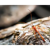 Ichneumon Wasp_Ophion luteus Dorsal View_WB