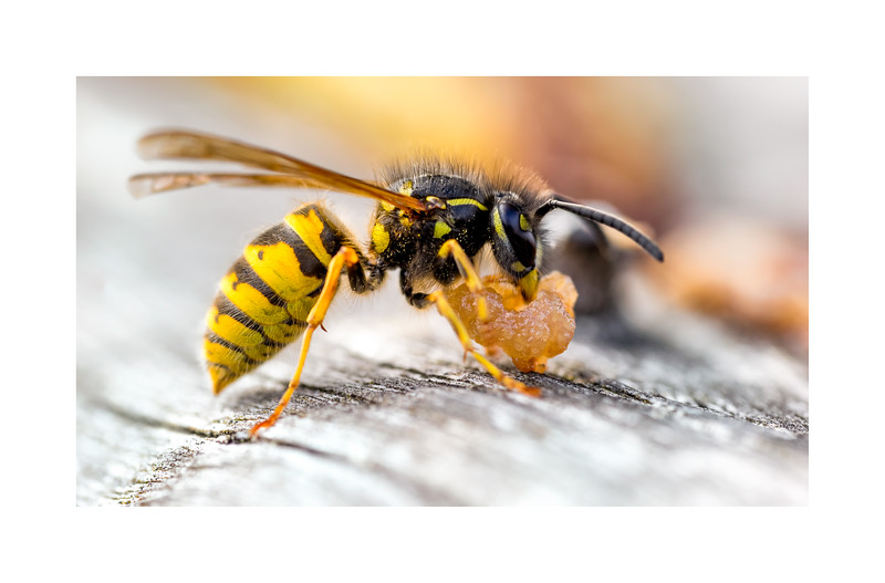 Common Wasp (Vespula vulgaris) Scavaging food