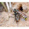 Field Digger Wasp (Mellinus arvensis) with Prey