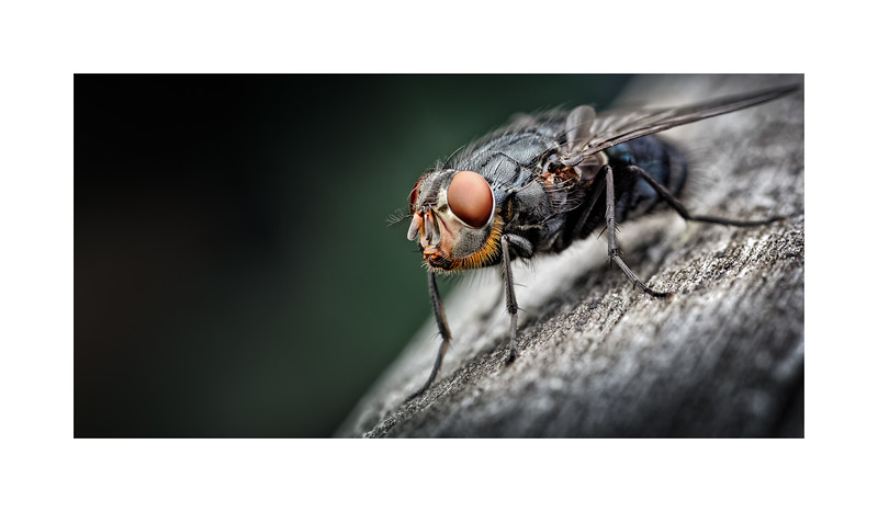 Bluebottle (Blow fly) Calliphora vomitoria