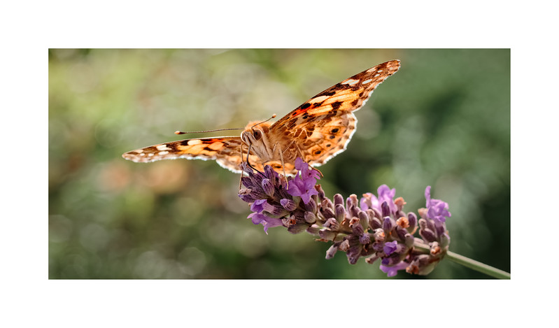 Painted Lady (Vanessa (Cynthia) cardui) on Lavender 02
