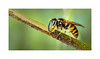 Common Wasp (Vespula vulgaris) scavaging nest material