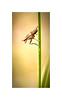 Sciomyzidae Snail-killing Fly_Pano-Crop