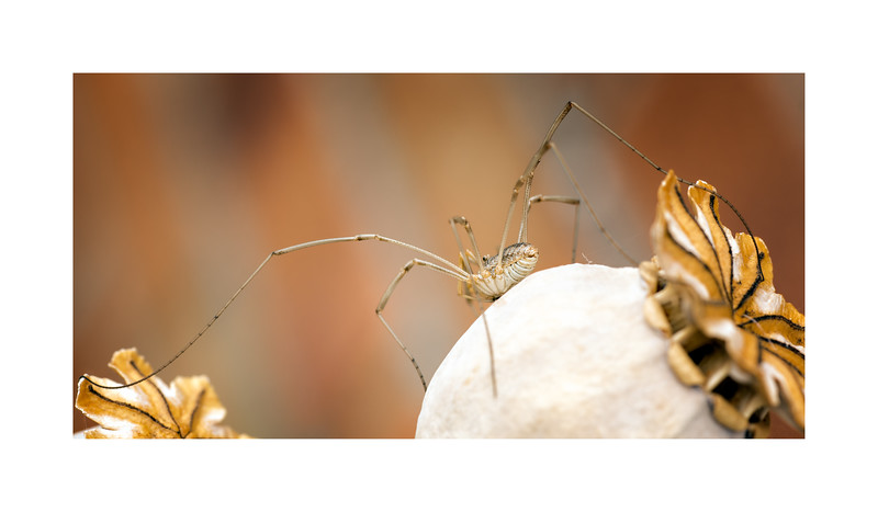 Harvestman_Rilaena triangularis