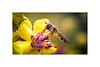 Marmalade Hoverfly (Episyrphus balteatus)_01