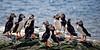 Atlantic Puffin (Fratercula arctica)  Puffin AGM