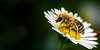 Solitary Bee (Colletes daviesanus)
