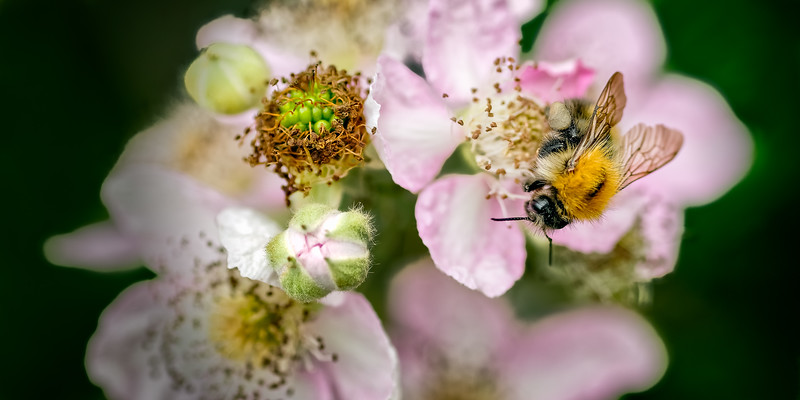 Common Carder Bee (Bombus pascuorum) on Rubus fruticosa