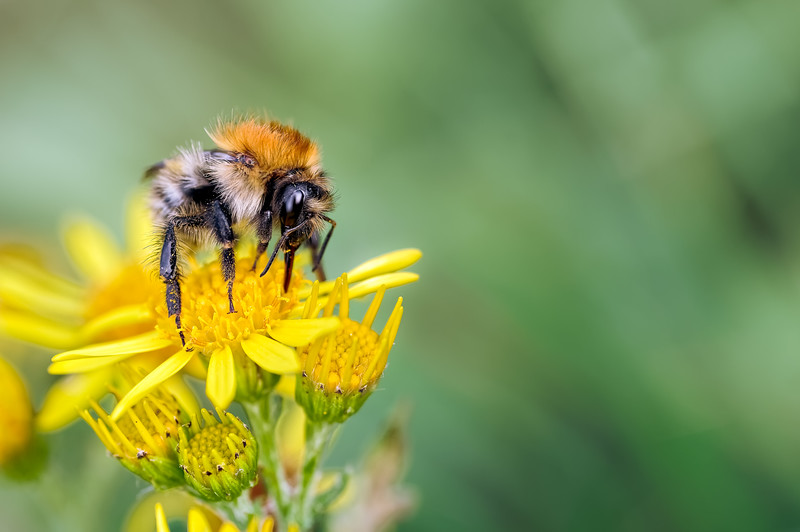 Common Carder Bee (Bombus pascuorum_male) on Ragwort