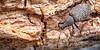Vine Weevil on Rotten Log_Otiorhynchus sulcatus