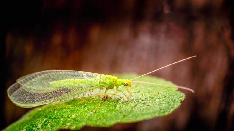 Green Lacewing_Chrysoperla carnea