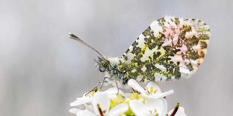 Orange Tip Butterfly_Anthocharis cardamines 02