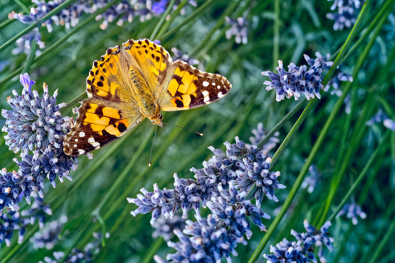 Painted Lady (Vanessa (Cynthia) cardui) on Lavender 01
