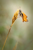 Small Skipper Butterfly (Thymelicus sylvestris)