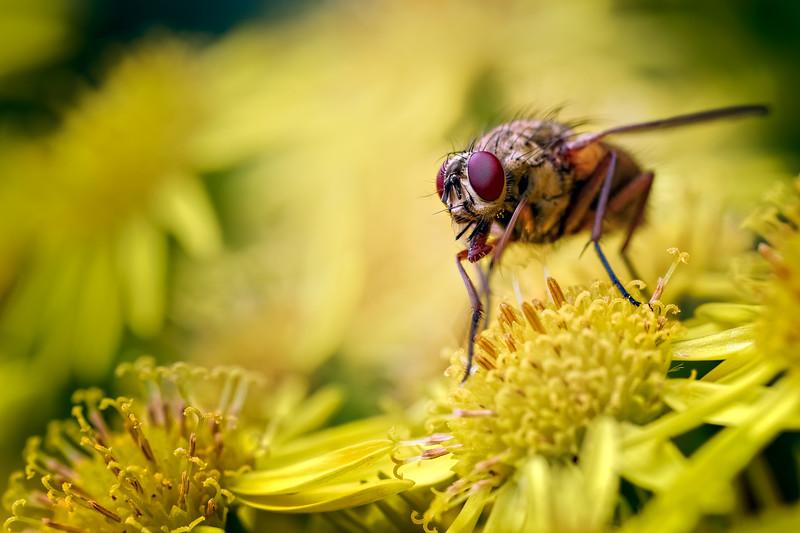 House Fly (Helina reversio)