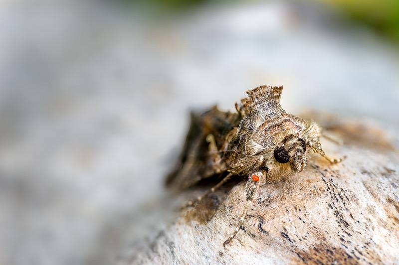 Silver Y moth (Autographa gamma) & Mite