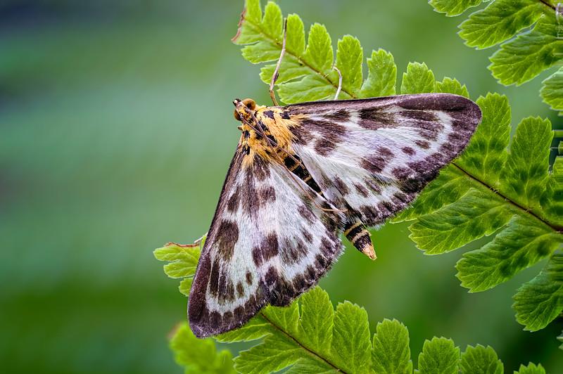 Small Magpie Moth (Anania hortulata) 01