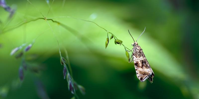 Tortrix Micro Moth (Celypha lacunana)