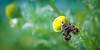 Nettle-Tap Moth (Anthophila fabriciana)