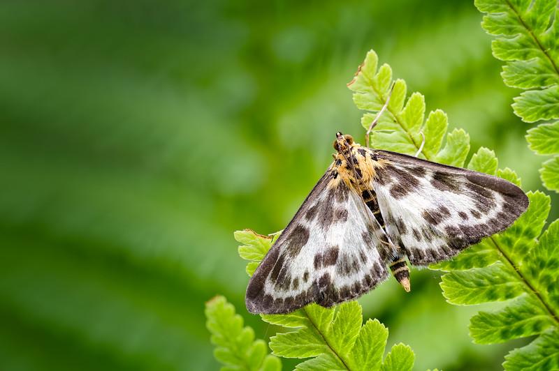 Small Magpie Moth (Anania hortulata)