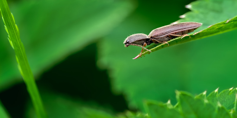 Click Beetle (Agriotes obscurus)