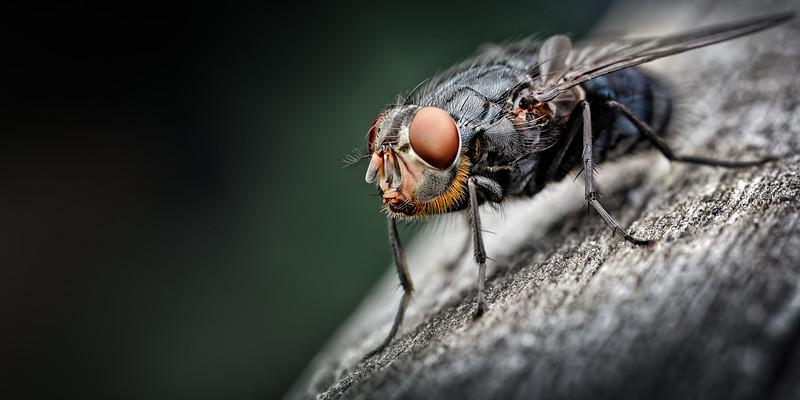 Bluebottle (Blow fly) Calliphora vomitoria