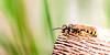 Field Digger Wasp_Mellinus arvensis