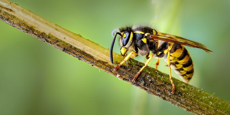 Common Wasp (Vespula vulgaris) scavaging nest material