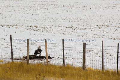 Wyoming Bird of Prey