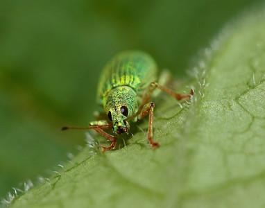 greenbug