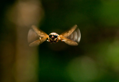 hovering beefly